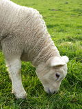 Lamb. Grazing on a sunny spring day Stock Image
