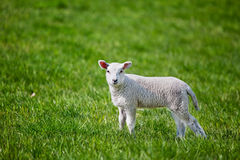 Lamb Royalty Free Stock Image