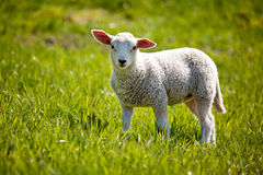 Lamb Royalty Free Stock Photo