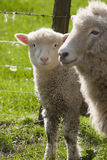 Lamb abd nother stock photography
