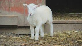 Lamb. An adorable lamb outside of barn Stock Photography