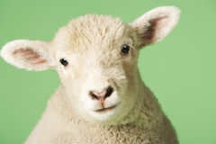 Lamb Against Green Background Stock Image