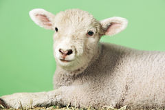 Lamb Against Green Background Royalty Free Stock Photography