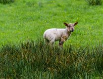 Lamb Alone In The Tall Grass royalty free stock photo