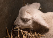Lamb Asleep Stock Photography