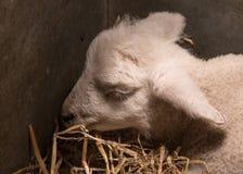 Lamb Asleep Stock Photography