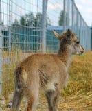 lamb, baby blue sheep Royalty Free Stock Image