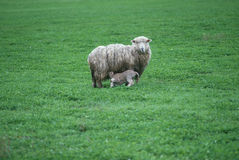 Lamb with baby feeding Stock Images