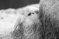 Lamb baby sheep sucking milk from his mother. Lamb baby sheep sucking milk in black and white Stock Photo