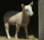 Lamb in a Barn Stock Image
