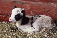 lamb barn Fotografia Royalty Free
