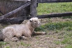 Lamb in barnyard. Young lamb laying in straw in green barnyard fenced pen Stock Images