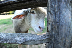 Lamb Behind Wooden Fence Royalty Free Stock Photos