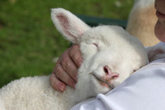 Lamb being cuddled. Beautiful white lamb snuggling in safely as he is cuddled stock photography
