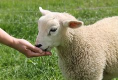 Lamb Being Fed. Stock Image