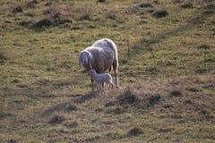 Lamb birth stock image