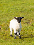Lamb with black face legs knees and feet Stock Photo
