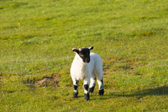 Lamb with black face legs knees and feet Stock Photography
