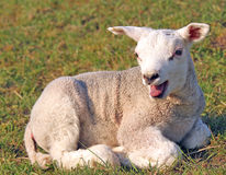 Lamb bleating. Lamb lying on grass and bleating royalty free stock image