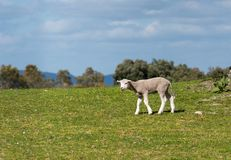 Lamb bleating in the pasture. Spring and sunny day. stock photos