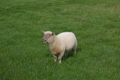 Lamb bleeting in grass meadow Royalty Free Stock Photography