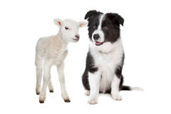 Lamb and a border collie puppy. In front of a white background royalty free stock image