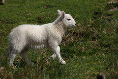 Lamb in the Brecon Beacons Stock Photography