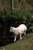 Lamb in the Brecon Beacons Stock Images