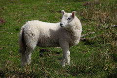 Lamb in the Brecon Beacons Stock Photos