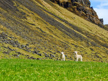 Lamb brothers. Under the Eyjafjollum mountains Stock Photos