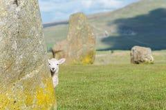 Lamb at Castlerigg Stone Circle stock photos