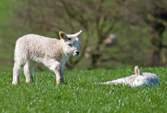 Lamb checking on a friend Royalty Free Stock Photo