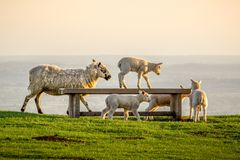 Lamb climbs on bench at Dovers Hill royalty free stock photo