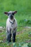 A lamb with a collar Royalty Free Stock Photography