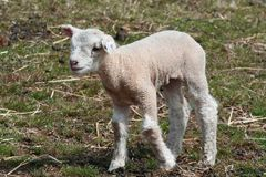 Lamb in countryside Royalty Free Stock Photography