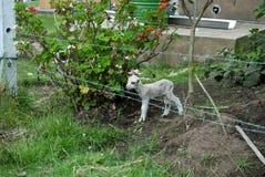 Lamb Royalty Free Stock Image