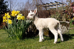 Lamb in daffodils Royalty Free Stock Photos
