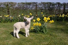Lamb in daffodils Royalty Free Stock Images