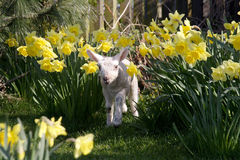 Lamb in daffodils Stock Photography
