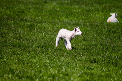 Lamb in the Dales Stock Photo