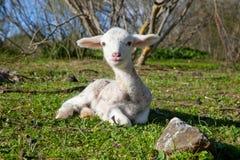 Lamb on dehesa landscape Royalty Free Stock Photos