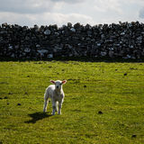 Lamb Derbyshire England Stock Photos