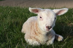 Lamb on dike. In holland Royalty Free Stock Photography