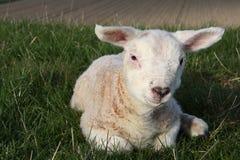 Lamb on dike Royalty Free Stock Photography