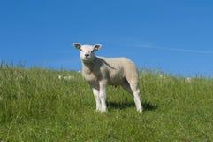 Lamb on a dike Royalty Free Stock Image