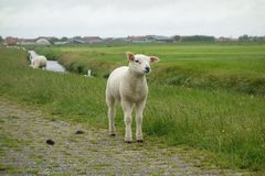 Lamb on a dike Royalty Free Stock Photo