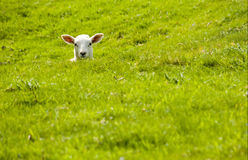 Lamb in a dip Royalty Free Stock Photo