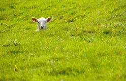 Lamb in a dip Royalty Free Stock Photo