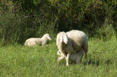 Lamb drinks milk from his mother sheep. In a field Stock Images
