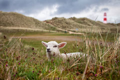Lamb in the dunes Stock Images